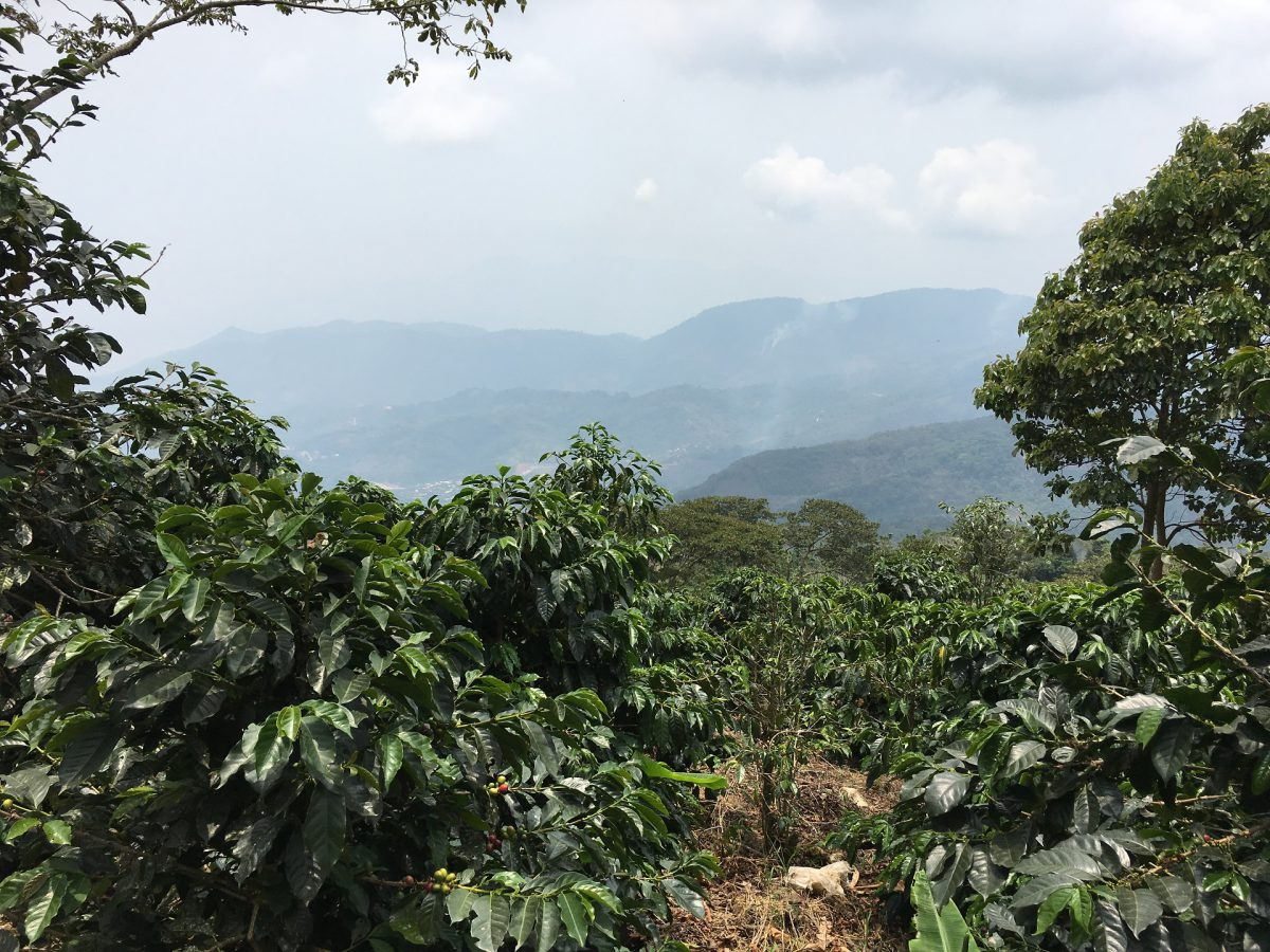 View over the coffee fields