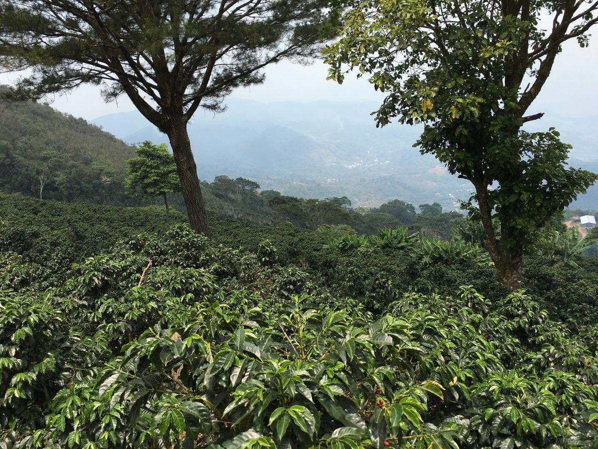 View over the Coffee plantation