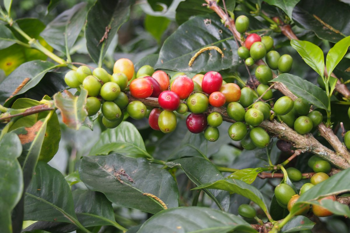Fresh green and red coffee beans on the bough