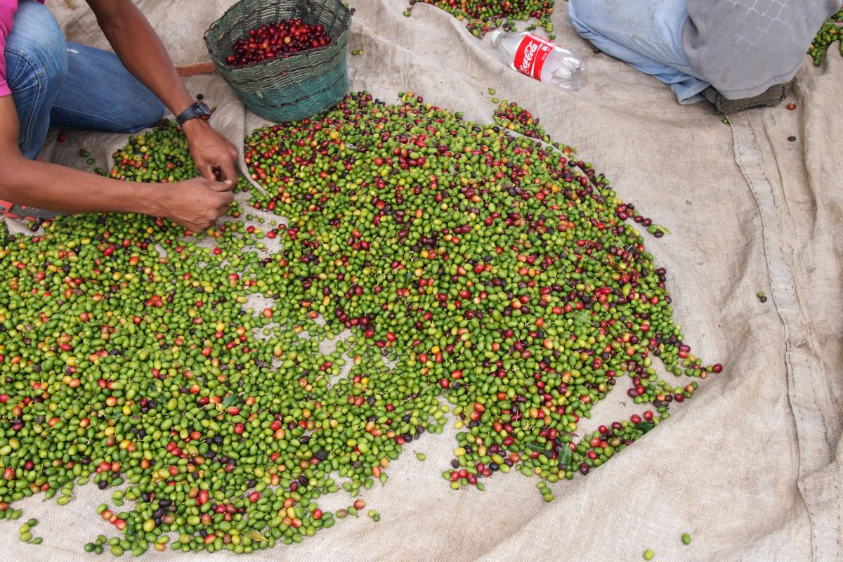 A lot coffee beans on the floor, a helper sorts by color