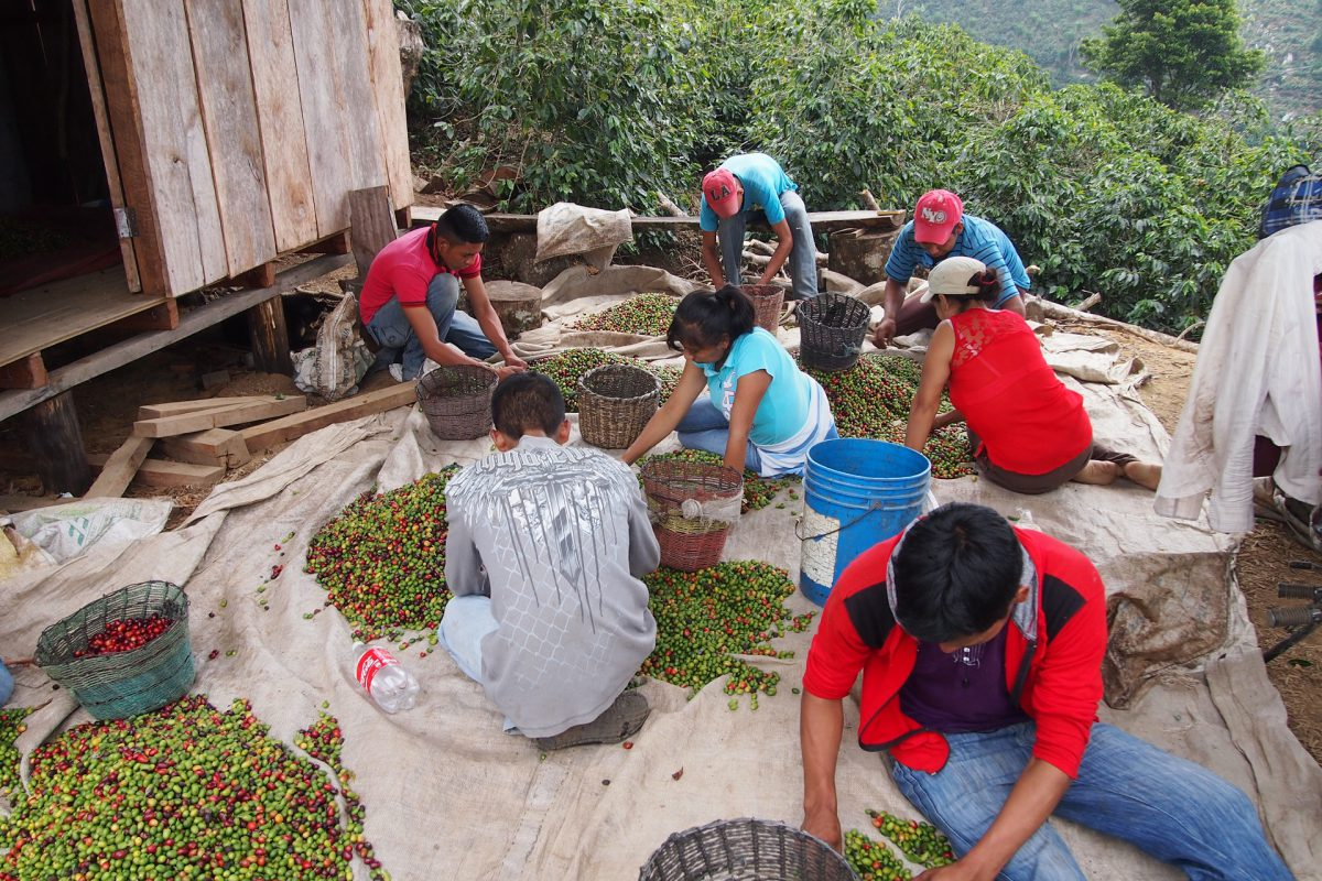 Farmers and helpers sorting the coffee beans