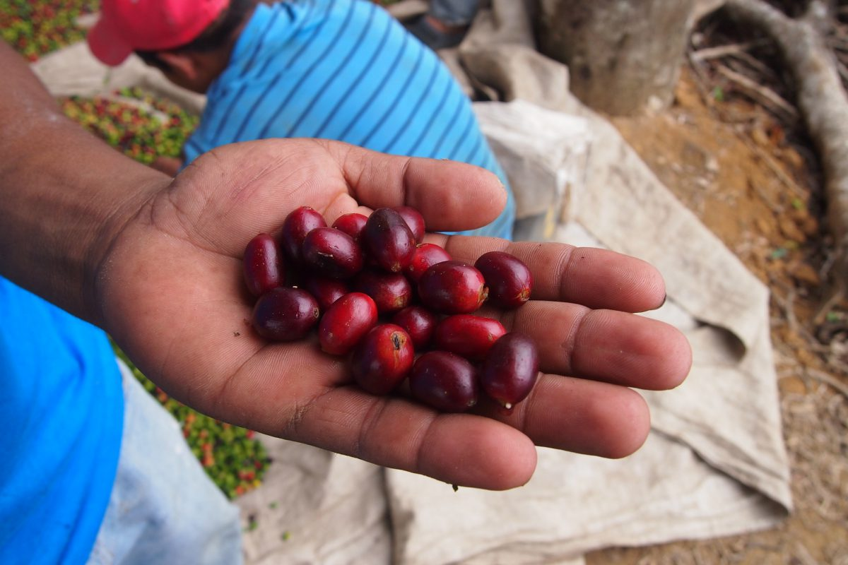 Coffee beans after harvest by farmers hands