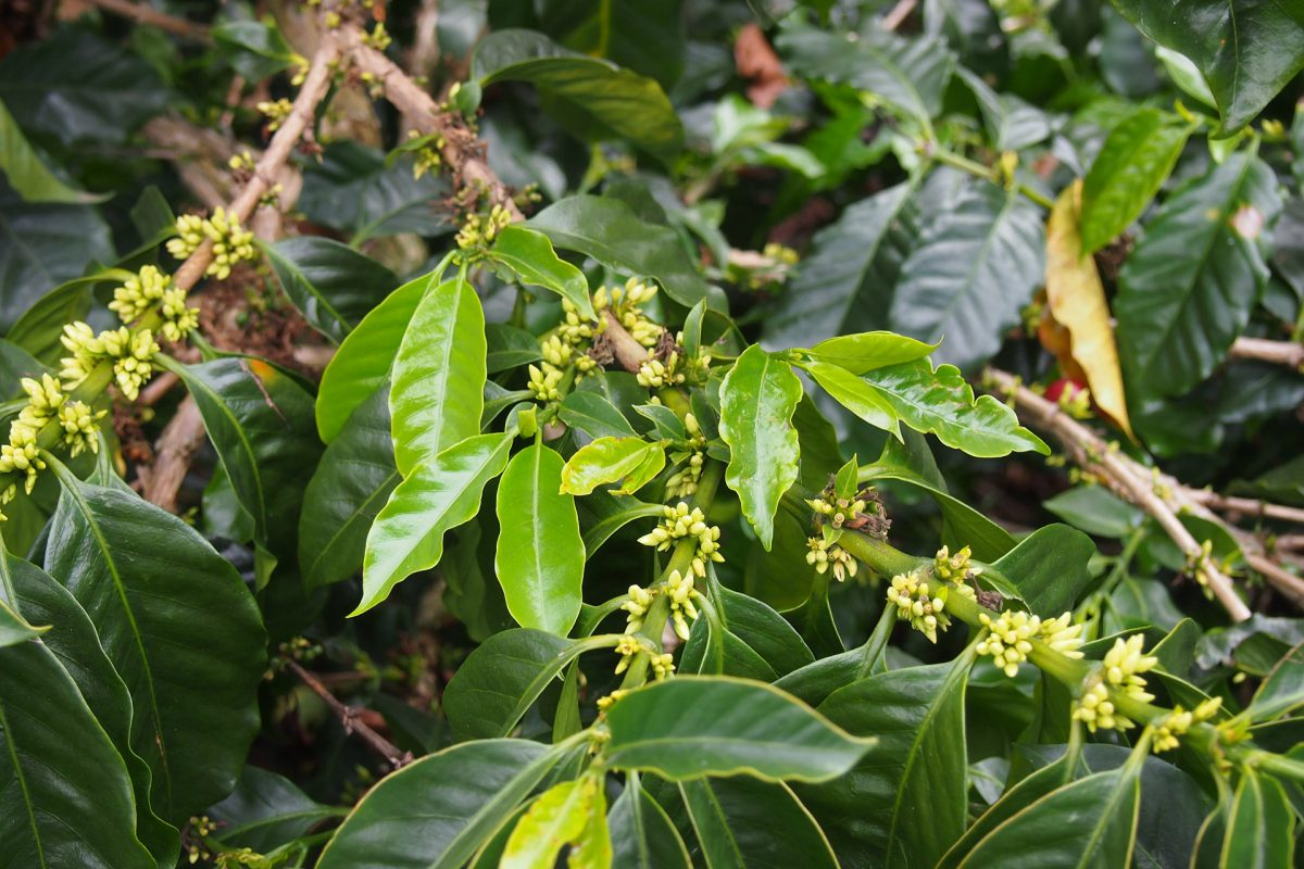 A lush green Coffee plant